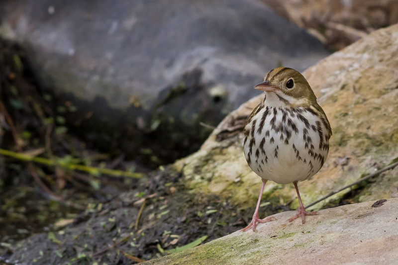 Ovenbird, South Padre Island Convention Center, Texas