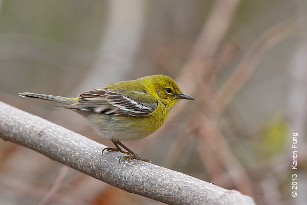 20 April: Pine Warbler at Hempstead Lake State Park
