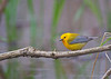 Prothonotary Warbler<br /> Point Pelee National Park, ON