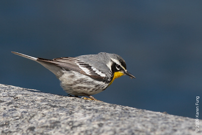 April 12th:  Yellow-throated Warbler in Central Park.  Unusually cooperative, and  rare for NYC.