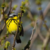 Magnolia Warbler, Prince Edward Point National Wildlife Area, Ontario