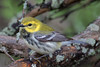 Black Throated Green Warbler (bb2707)