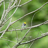 golden-winged warbler: Vermivora chrysoptera, Opinicon Road