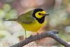 Hooded Warbler (b2756)