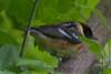 Bay Brested Warbler (b2672)