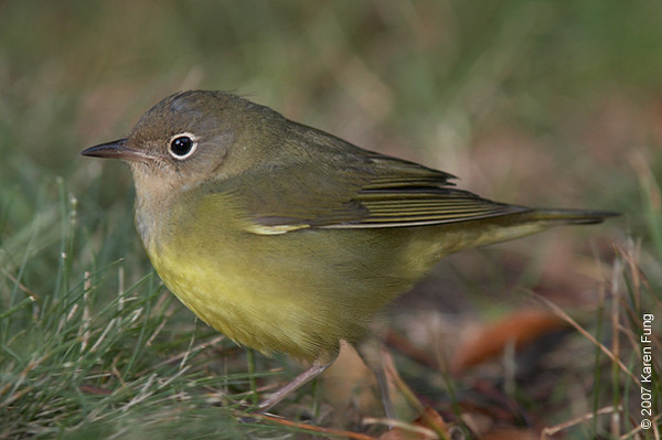 This Connecticut Warbler was found by Nick Wagerik in Central Park, just east of Sparrow Ridge, on 9/17/07.  It was extremely cooperative and walked right up to me, allowing me to get this full frame shot.