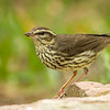 Northern Waterthrush, South Padre Island Convention Center, Texas