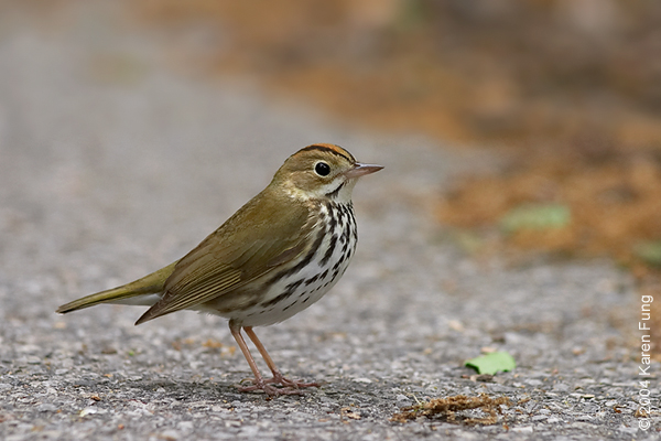 Ovenbird in Central Park