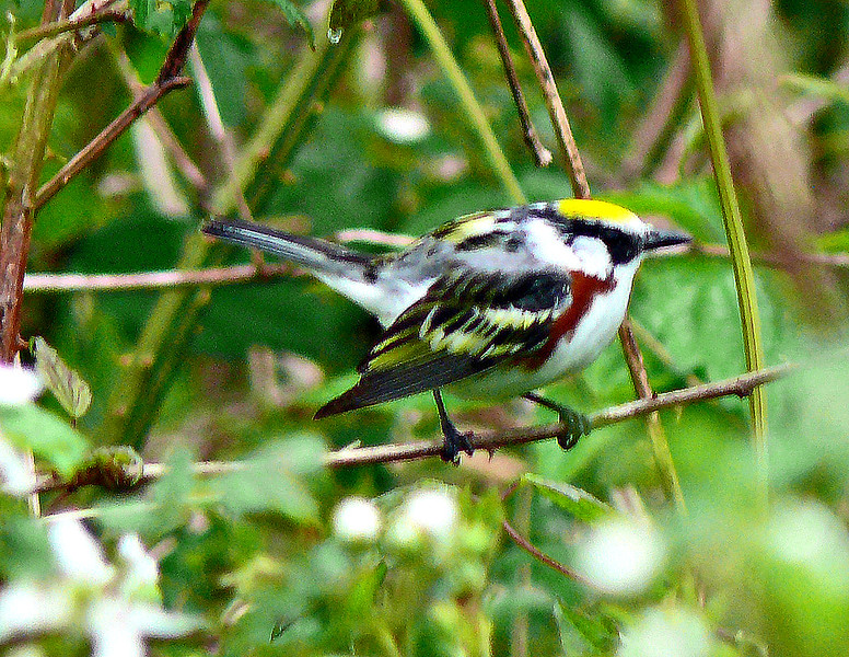 Chestnut-sided Warbler, Hampton Creek, Roan Mountain, TN, 5-19-12