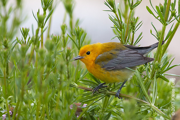 15 April: Prothonotary Warbler