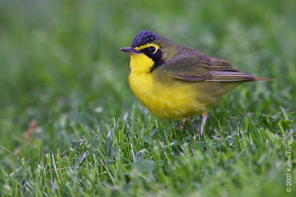 Kentucky Warbler in Central Park (Strawberry Fields)