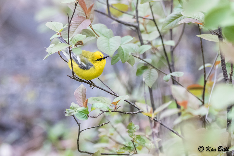 blue-winged warbler: Vermivora cyanoptera, Ontario, Point Pelee NP--Tilden's Woods