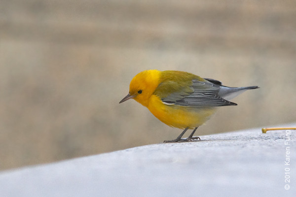 22 Oct: Prothonotary Warbler surveying the crowd on Fifth Avenue in front of the New York Public Library.