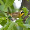 Bilberry Drive, common yellowthroat: Geothlypis trichas