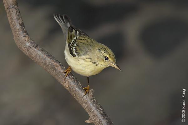 Sept 21st: Blackpoll Warbler in Central Park (Tanner's Spring)