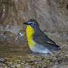 Yellow-breasted Chat (Icteria sirens)