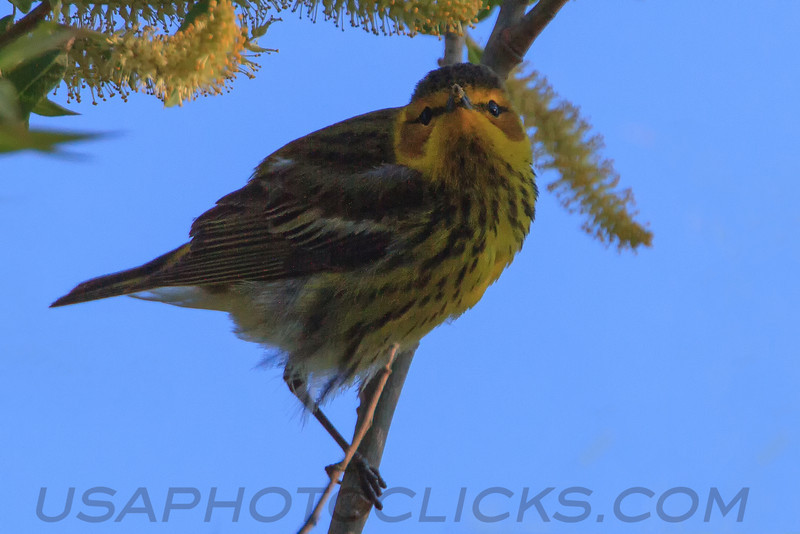 Cape May Warbler (b2731)