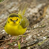 Hooded Warbler, South Padre Island Convention Center, Texas