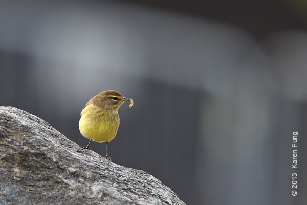 19 Oct: Palm Warbler in Central Park