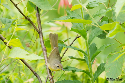 common yellowthroat: Geothlypis trichas, female, Opinicon Road, Skycroft Trails