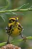 Townsend's Warbler (b2853)