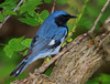Black Throated Blue  Warbler (b2711)