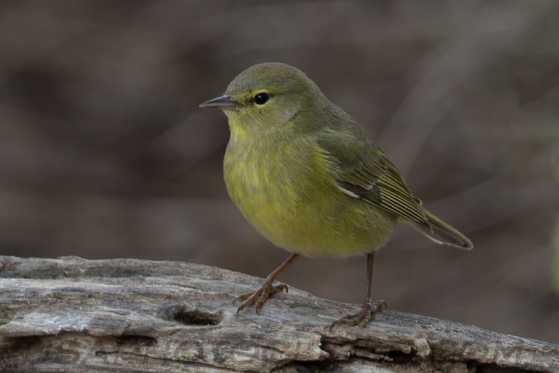 Orange Crowned Warbler (b2813)