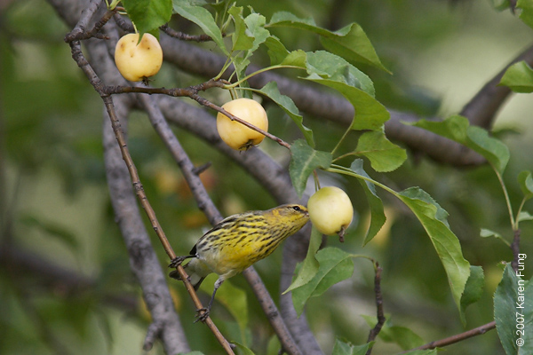 Cape May Warbler poking at a crab apple in Central Park (Sparrow Ridge)