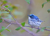 Cerulean Warbler<br /> Point Pelee National Park, ON