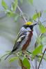 Chestnut Sided Warbler (b2741)