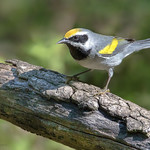 Golden-winged warbler (Male)