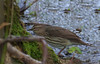 Northern Waterthrush (b2931)