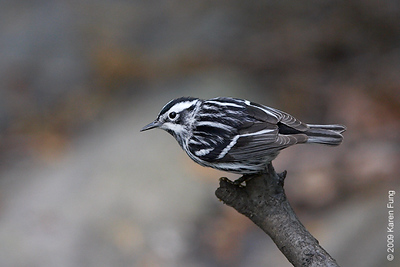 May 8th:  Black-and-white Warbler in Central Park