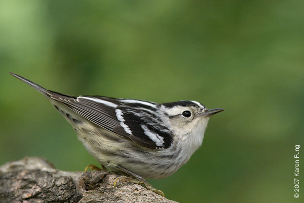 Black-and-white Warbler in Central Park (Great Hill)