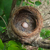 American redstart: Sehaga ruticilla, eggs, Mud Lake, nest