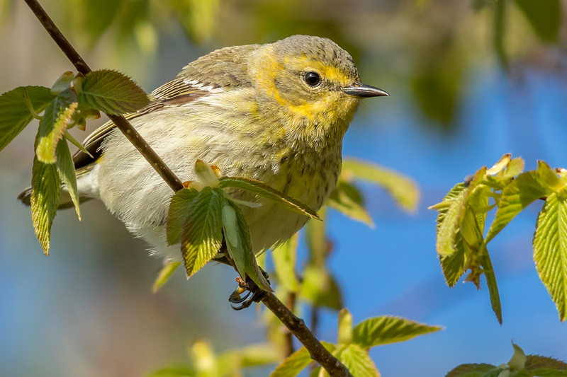 Cape May Warbler, Prince Edward Point National Wildlife Area, Ontario