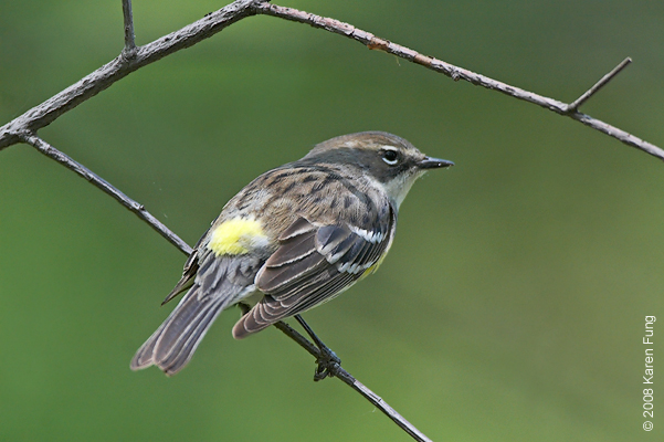 May 7th: Yellow-rumped Warbler in Central Park