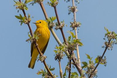 Warblers, Kinglets