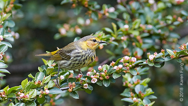 20 May: Cape May Warbler in Central Park