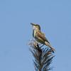 clamerous reed warbler קנית אפריקנית