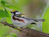 Chestnut Sided Warbler (b2744)