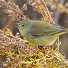 Orange-crowned Warbler - Point Petre, Ontario, Canada