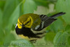 Black Throated Green Warbler (b2703)
