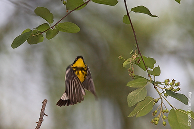 May 8th:  Magnolia Warbler liftoff in Central Park