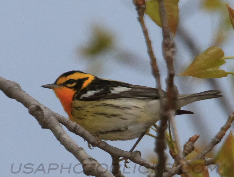 Blackburnian Warbler (b2691)