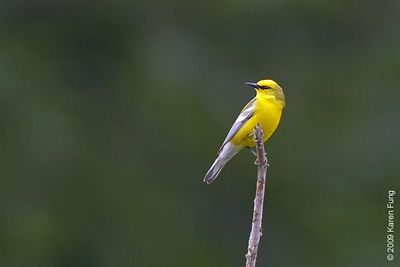 May 24th: Blue-winged Warbler in Orange County