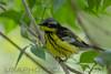 Magnolia Warbler (2785)