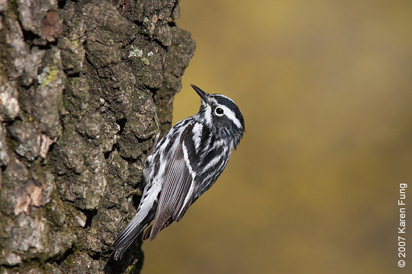 Black-and-white Warbler in Central Park (Nutter's Battery).