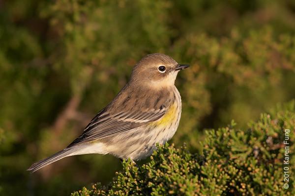 17 Oct: Yellow-rumped Warbler at Jones Beach