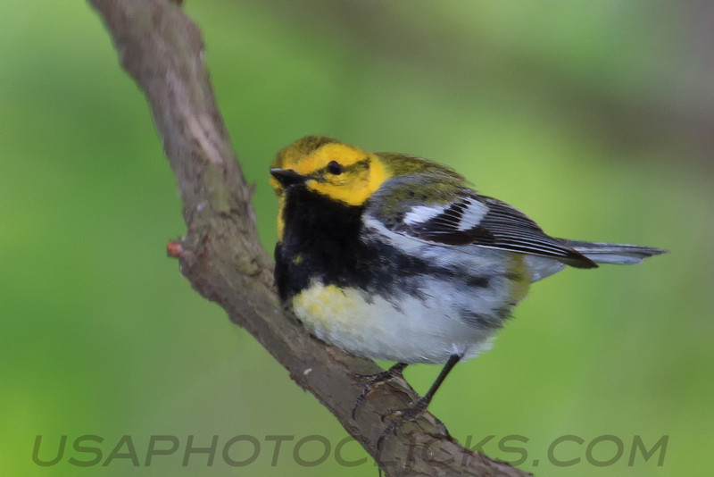 Black Throated Green Warbler (b2702)